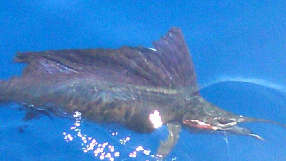 Outcast Tamarindo sailfish