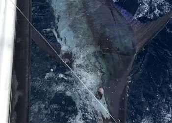 Capullo Tamarindo full day charter blue marlin