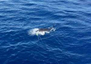 Talking Fish Tamarindo ¾ day charter blue marlin